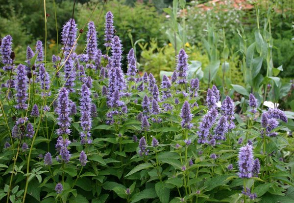 Agastache-Black-Adder.jpg