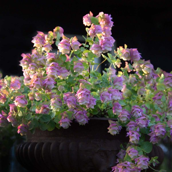 Origanum rotundifolia Kent Beauty.jpg