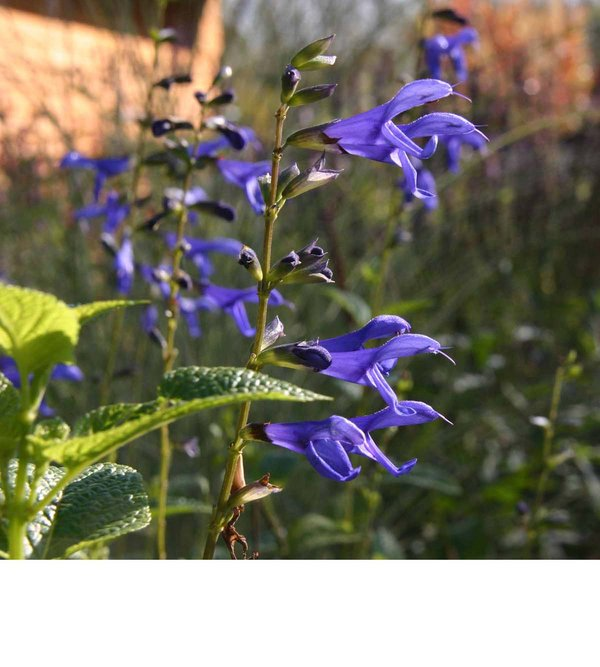 Salvia guarantica Blue Enigma.jpg