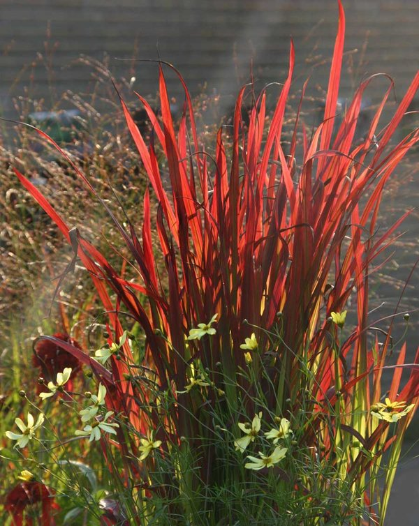 Imperata-Red-Baron.jpg