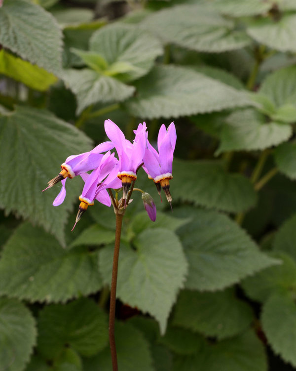 Dodecatheon-Red-Wings.jpg
