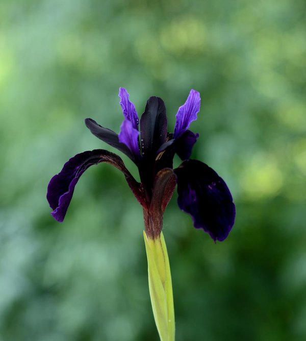 Iris-chrysographes-'Black-Form'.jpg