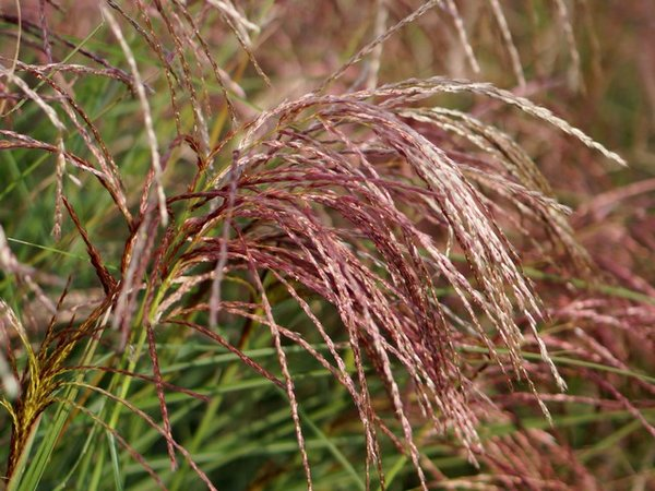 Miscanthus-sinensis-Red-Cloud.jpg