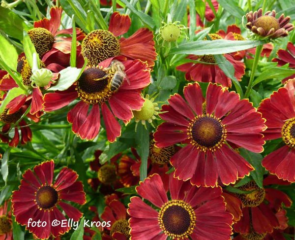 Helenium-Potter's-Wheel.jpg