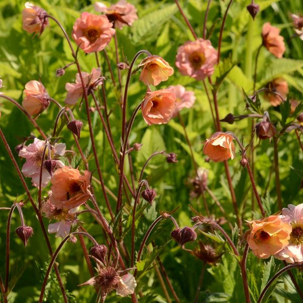 Geum-Totally-Tangerine.jpg