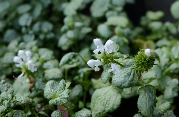 Lamium-maculatum-White-Nancy.jpg