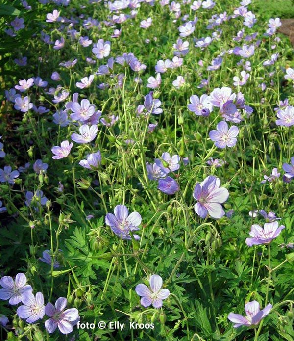 Geranium-Blue-Cloud.jpg